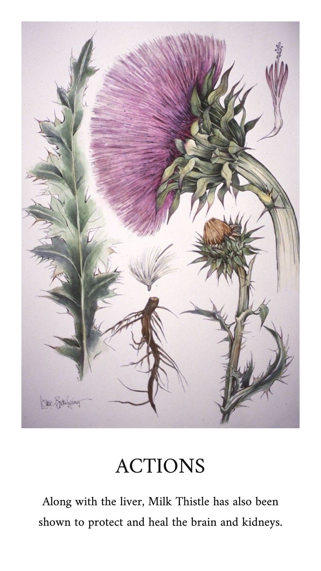Milk Thistle For Liver Disease